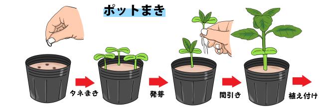 の 方 植え ひまわり 種