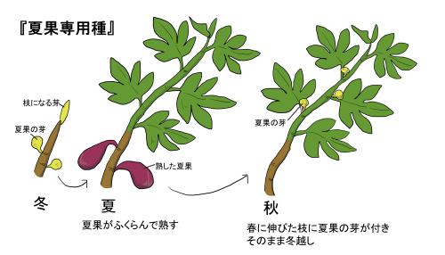 栽培 イチジク