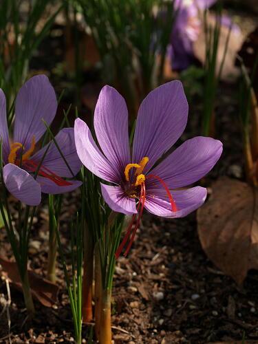 サフラン サフランとは|ヤサシイエンゲイ 詳しい育て方球根植物アヤメ科TOPページ 高価なスパイ