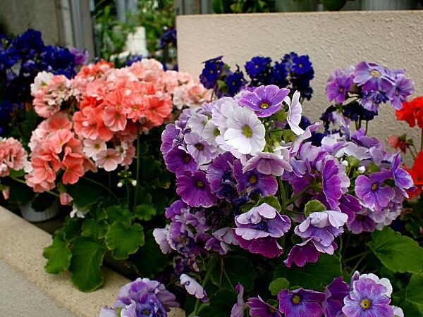 透明感のある花色 ▲透明感のある花色が美しい 中国-ヒマラヤに分布するサクラソウの仲間で...