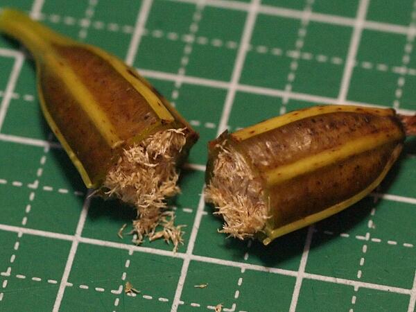 シラン (植物)の画像 p1_17